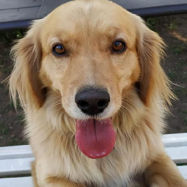Tobia - Mix Golden Retriver