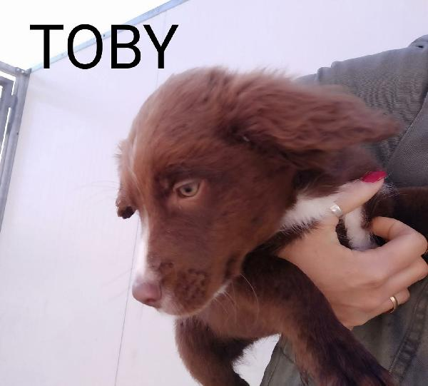 Toby Bellissimo Simil Border Collie