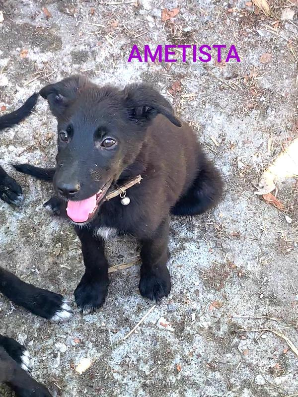 Ametista Cucciola Mix Border Collie