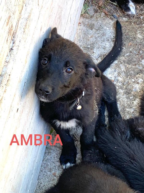 Ambra Cucciola Mix Border Collie