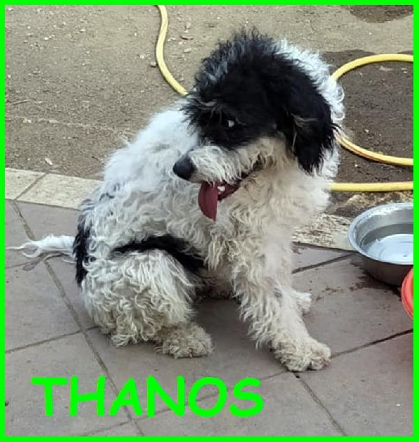 Thanos Simil Lagotto  Circa 1 Anno