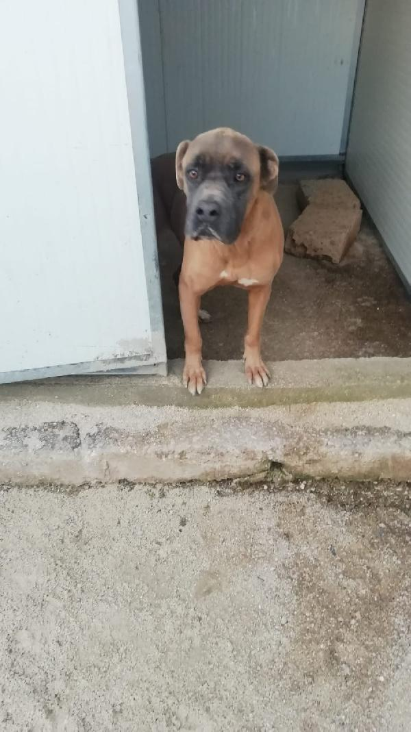 Ginestra: Giovane Mix Boxer In Canile